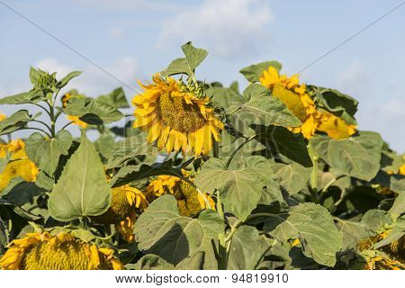 Sunflower on field
