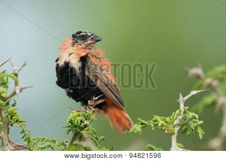 A Male Northern Red Bishop (euplectes Franciscanus) Losing Its Breeding Plumage