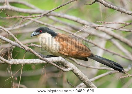 A Senegal Coucal (centropus Senegalensis) Perched On A Perch
