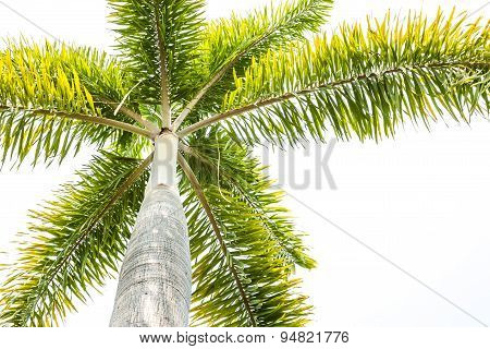 Foxtail Palm Tree  On White Background