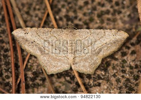 A Moth Resting On The Ground (semiothisa Sp. Peacock) Family Geometridae