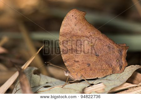 Evening Brown Butterfly (melanitis Leda) Resting Amongst Leaves