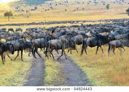 African Wildelife. Great Migration Antelopes Gnu