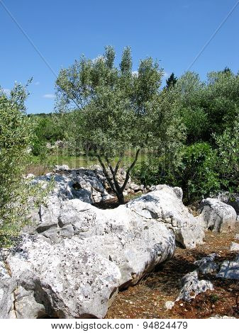 An olive tree on a rock of the Croatian island Ugljan