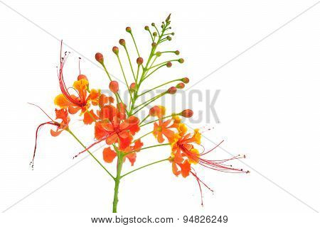 Beautiful Flower (pride Of Barbados) Isolate On Black Background