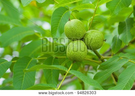 Unripe green walnut on a tree