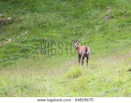 Chamois On The Meadow In The High Mountains In Summer