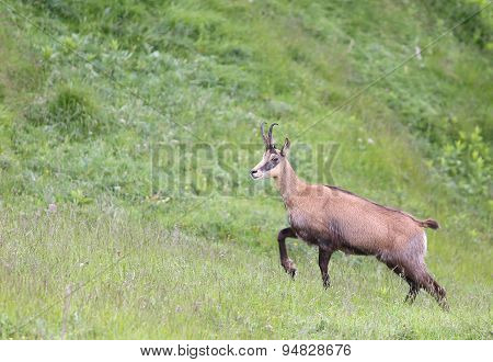 Grazing Chamois On The Meadow With Two Horns