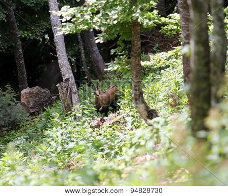 Isolated Scary Chamois  In The Middle Of The Forest In Summer