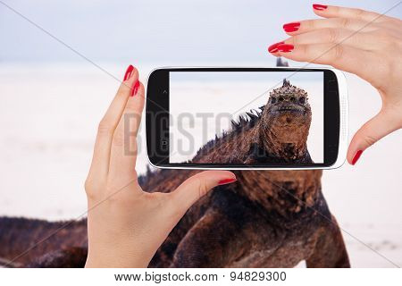 Marine Iguana Snapshot.