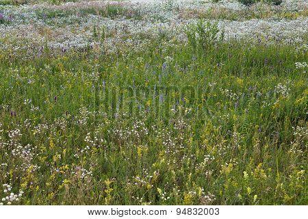 Green summer meadow