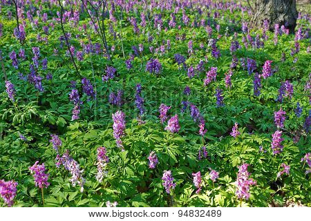 Glade of  flowers Corydalis