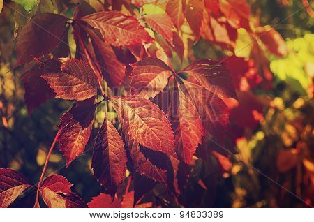 Wild grape red leaves
