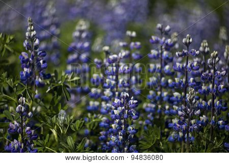 Wild Lupine In Iceland