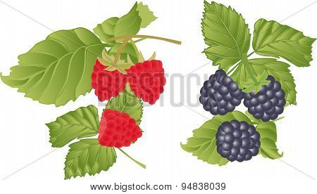 Vector Set Of Berries And Sprigs Of Raspberry.