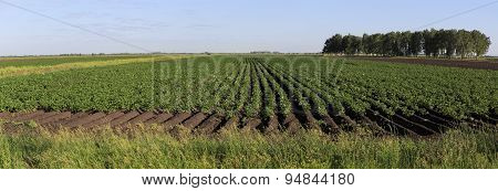 Beautiful rows on field planted with potatoes.
