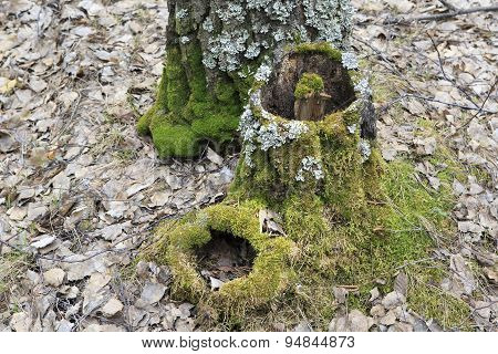 Green moss on an old birch stumps.