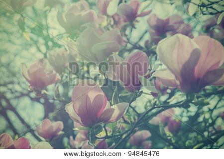 Soft Vintage Effect Magnolia Flowers