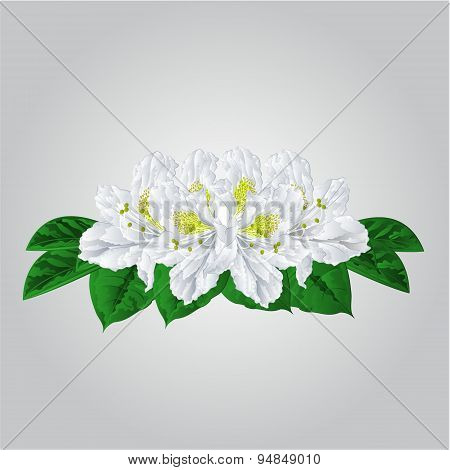 Bouquet Of White Rhododendrons Vector