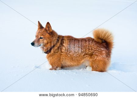 Finnish Spitz In Snow