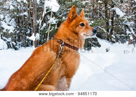 Hunting Dog Sitting In The Winter Forest