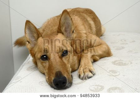 Brown Mongrel Dog Lying On A Bed