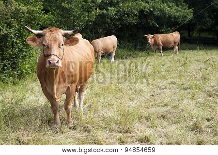 Brown Cattle Standing On Farmland