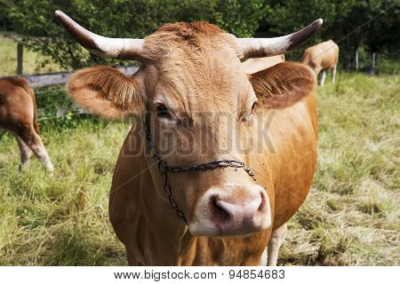 Brown Cow With Horns Standing On Grass