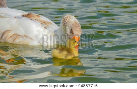 Mother goose and baby goose swimming together.