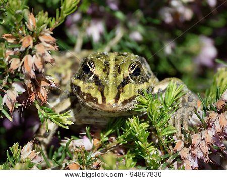 Edible Frog (pelophylax Kl. Esculentus)
