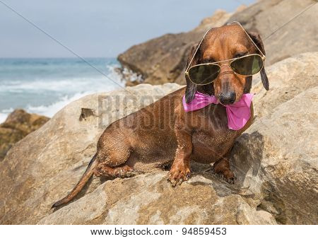 Dachshund Dog With Sunglasses At Sea