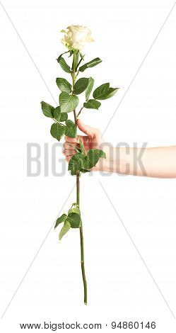 Hand holding a rose isolated