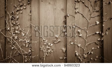 Dried Climber Ivy, Hedera On Old Wooden Board