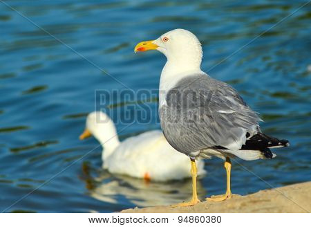Seagull standing near blue lake
