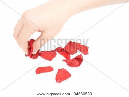 Hand picking red rose petals