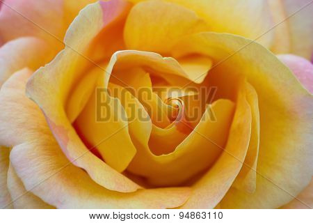 Macro Of A Yellow Rose