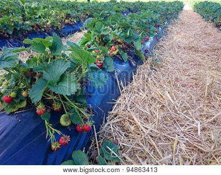 The Image Of The Strawberry Bush