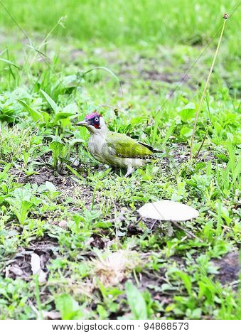 Green Woodpecker Adult  - Picus viridis