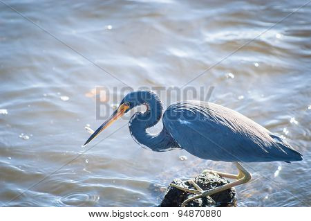 Tricolored Heron With A Minnow In Its Beak