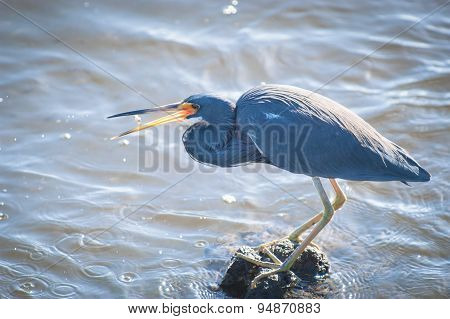 Tricolored Heron Flipping A Minnow Into Its Beak