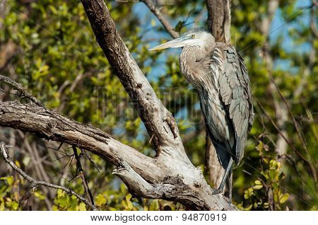 Great Blue Heron Sitting In A Tree