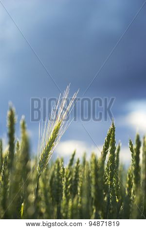 Wheat In Field On Blue Sky
