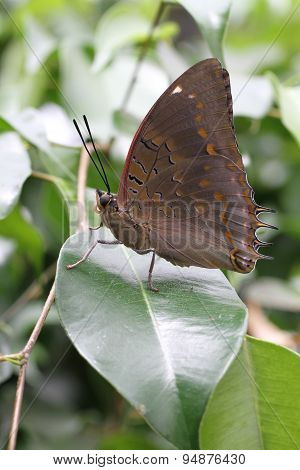 Blue-spotte Charaxes Butterfly