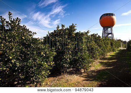 Giant Orange in Harvey, Western Australia