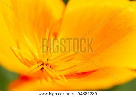 Beautiful Blown Escholzia, Macro. Poppy