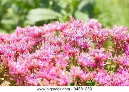 Beautiful Blooming Sedum On Green Meadow