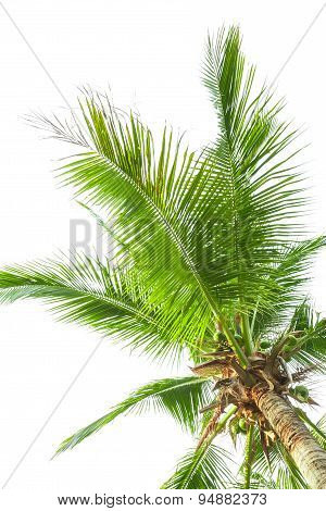 Under Coconut Tree On The White Background