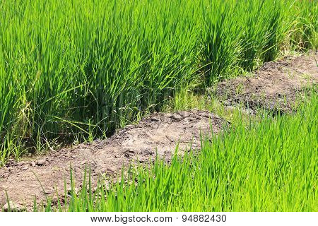 Growing Rice During Water Shortage