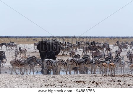 Crowded Waterhole With Elephants, Zebras, Springbok And Orix