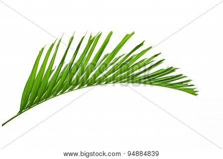 Green Palm Leaves Isolated On White Background, Clipping Path Included